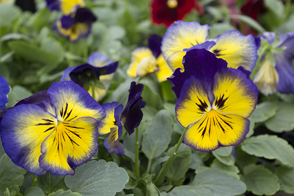 Pansy FP select Blue Sun