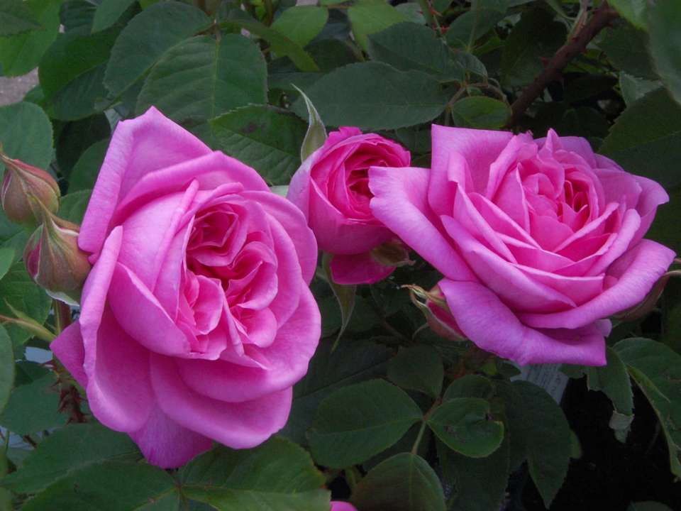 David Austin Rose Gertrude Jekyll