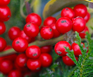 berried holly lyonshall nurseries