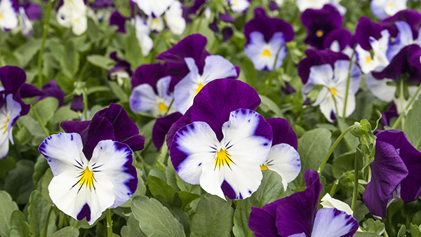 Pansy coolwave violet wing