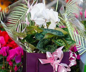 cyclamen gift wrapped