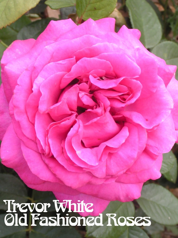 chartreuse de parme rose