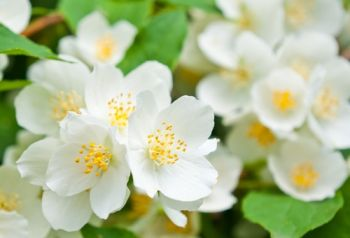 Plant of the Week: Mock orange