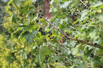 Prune your blackcurrant bushes