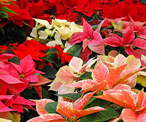 Poinsettia many colours