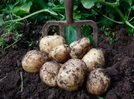 Maincrop Seed Potato