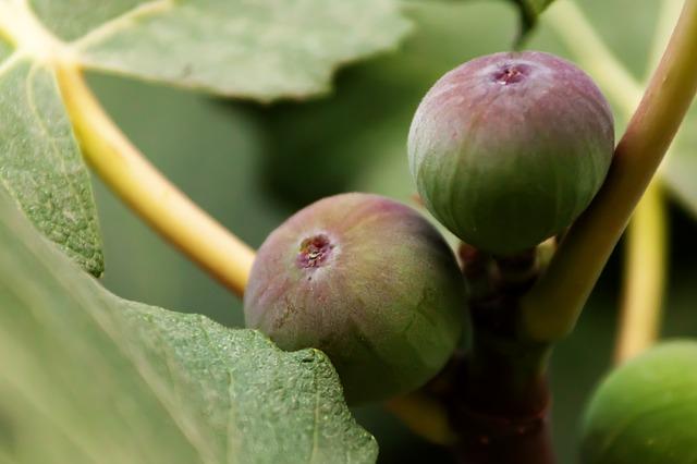 Fig brown turkey lyonshall nry