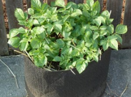 Potato container growing